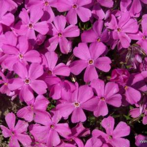 Phlox - Flioksai-Kiliminiai flioksai -Phlox borealis ssp.arctica