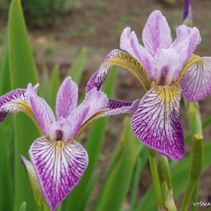 Iris vericolor 'Rowden Cadenza'