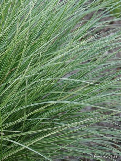 Varpiniai augalai-Carex – Viksvos- Carex montana 'Raureif'2