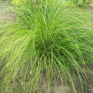 Varpiniai augalai-Carex – Viksvos-Carex morowii 'Silk Tassel'