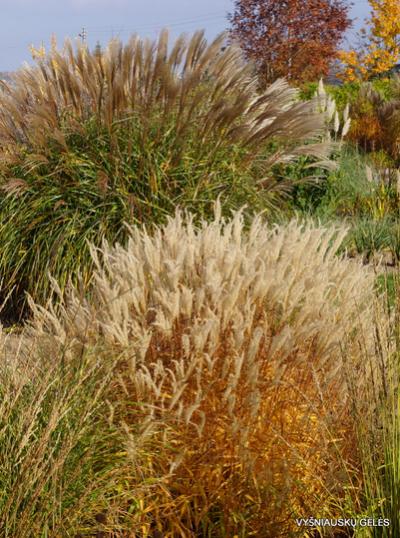 Varpiniai augalai-Miscanthus – Miskantai-Miscanthus oligostachyus 'Nanus Variegatus'2
