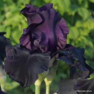 Vilkdalgis 'Hello Darkness'