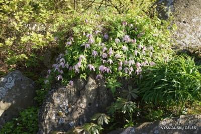 Clematis alpina (8)