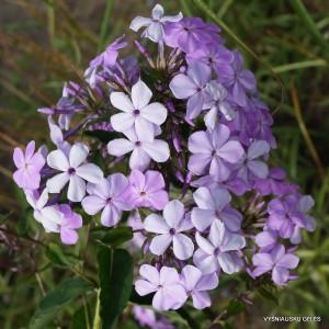 Flioksai-Šluotelinis flioksas wildform