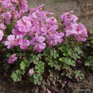 geranium-dalmaticum