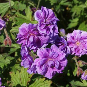 Geranium himalayense 'Birch Double' (2)