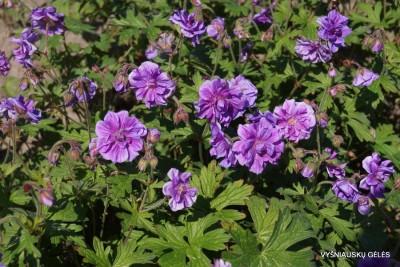 Geranium himalayense 'Birch Double'