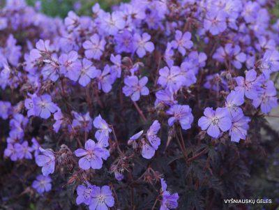 Geranium pratense 'Dark Reiter' (2)