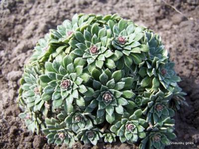 Saxifraga 'Hare Knoll Beauty'