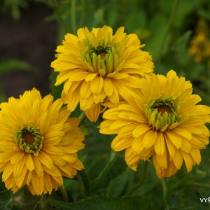 Heliopsis helianthoides 'Goldgefieder' (4)