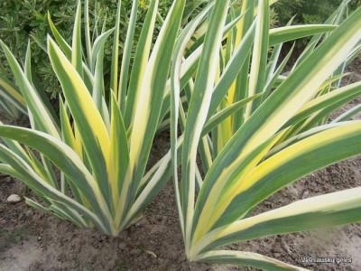Iris pallida 'Variegata' (2)