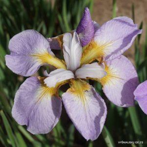 iris-sibirica-ranman