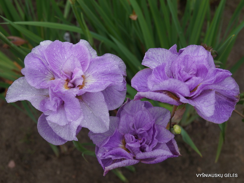 iris-sibirica-rigamarole-2