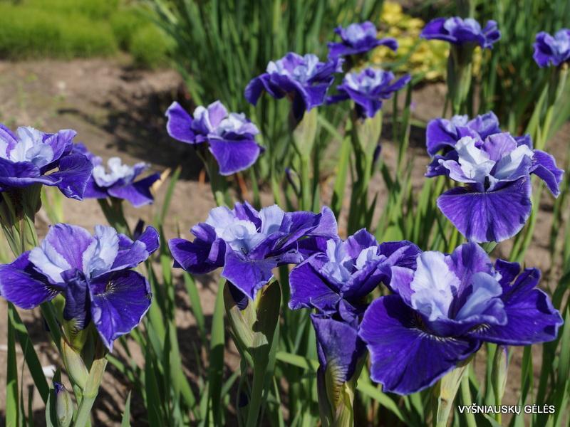 iris-sibirica-three-hand-stars-2