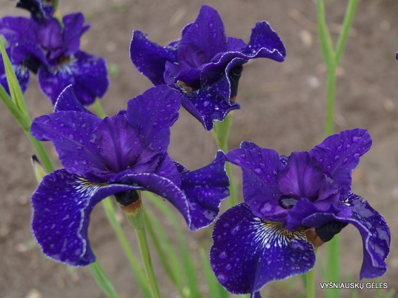 iris-sibirica-trim-the-velvet-2