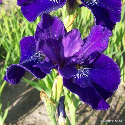 iris-sibirica-trim-the-velvet-3