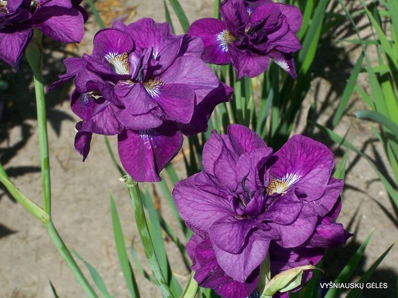iris-sibirica-tumble-bug-2