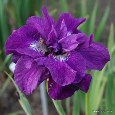 iris-sibirica-tumble-bug-4
