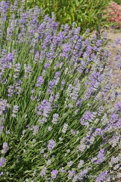 Lavandula angustifolia 'Mėlynas Sapnas' (2)