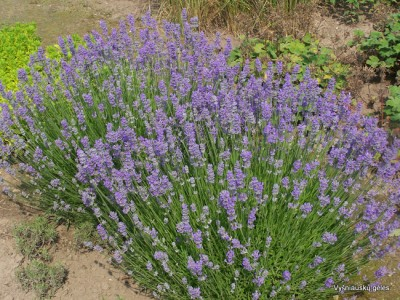 Lavandula angustifolia 'Mėlynas Sapnas'