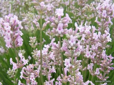 Lavandula angustifolia (3)
