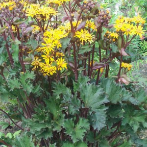 Ligularia 'Osiris Fantaisie'