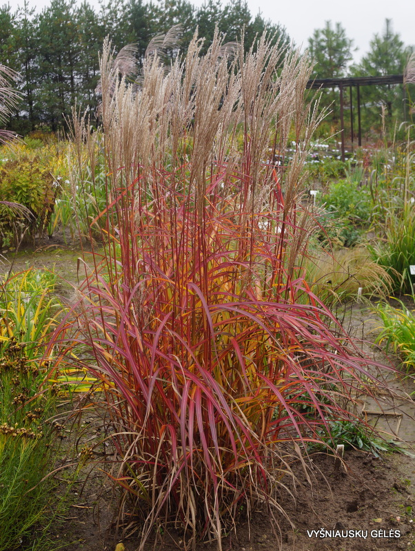 Miscanthus sinensis 'Purple Fall' (2)
