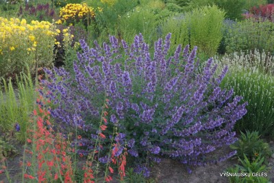 Nepeta x fassenii 'Walker's Low' (2)