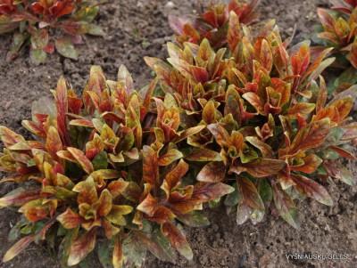 Oenothera fruticosa 'Camel'