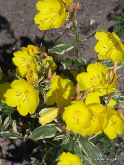 Oenothera tetragona 'Crown of Gold'