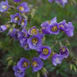 Polemonium caeruleum 'Lambrok Mauve'
