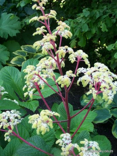 Rodgersia sambucifolia