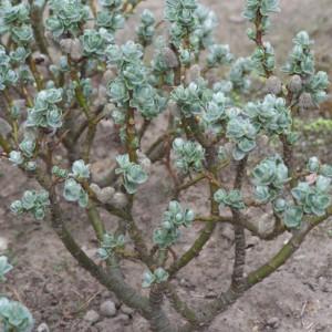 Salix x boydii (2)