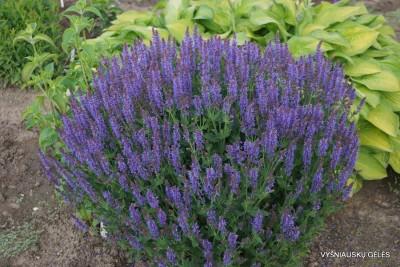 Salvia x sylvestris 'Blauhügel' (6)