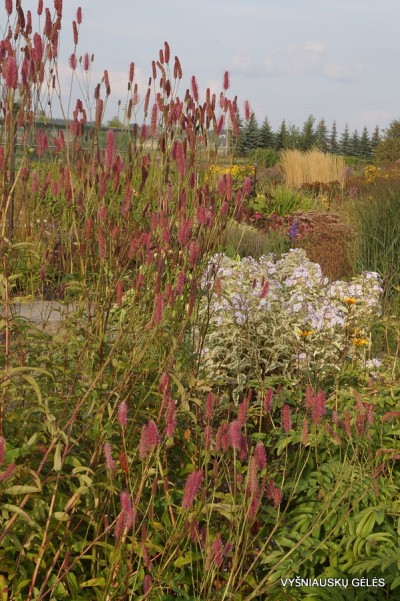 Sanguisorba 'Purple Candle' (3)