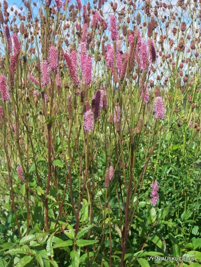 Sanguisorba 'Purple Candle' (5)