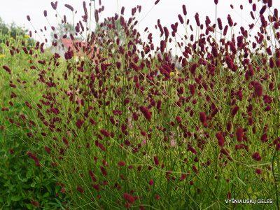 Sanguisorba officinalis 'Cangshan Cranberry' (2)