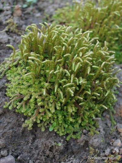 Selaginella kraussiana (2)