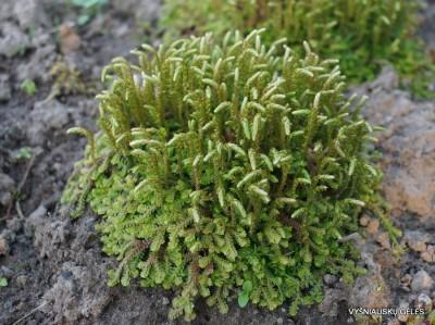 Selaginella kraussiana