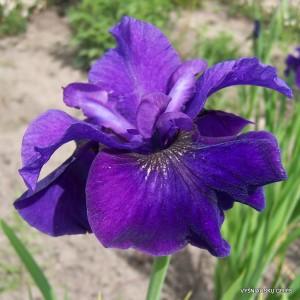Sibirinis vilkdalgis 'Purple Prose'