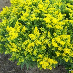 Solidago 'Early Bird'