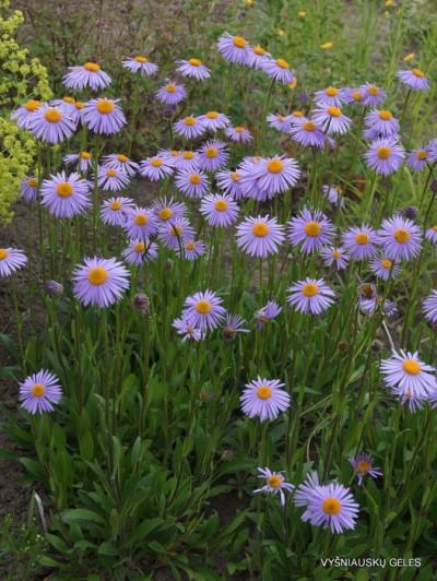 Uolinis astras 'Berggarten' (2)