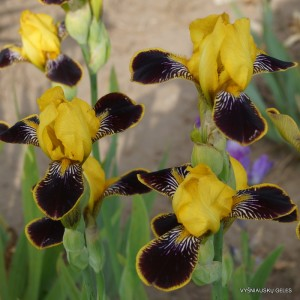 Vilkdalgis 'Bumblebee Deelite'