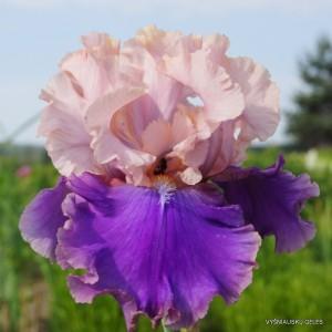 Vilkdalgis 'Florentine Silk'