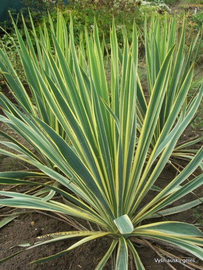Yucca filamentosa 'Bright Edge' (2)