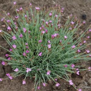 Dianthus arpadianus var.pumilus