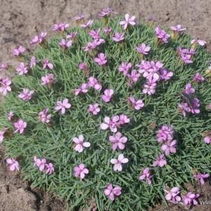 Dianthus erinaceus ssp.alpinus
