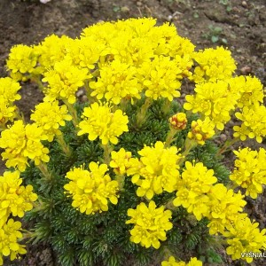 Saxifraga - Uolaskėlės