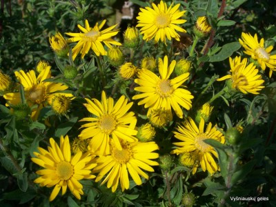 Astras 'Golden Sunshine'