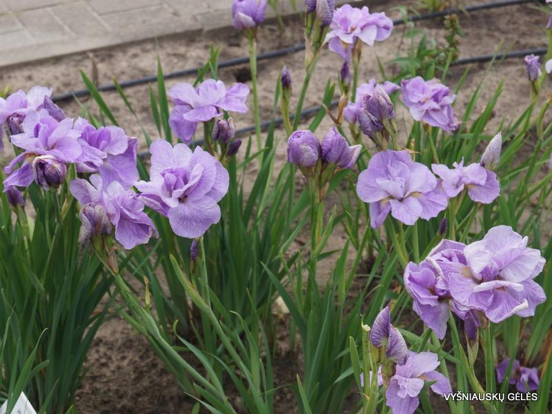 iris-sibirica-imperial-opal-2